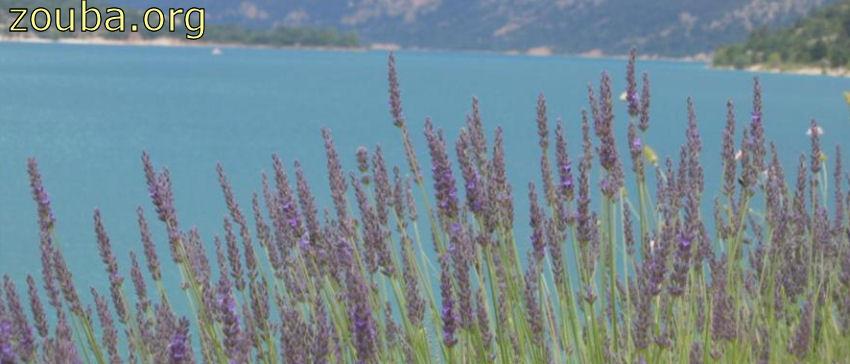Champ de lavande au bord du Lac Sainte-Croix du Verdon, en Provence